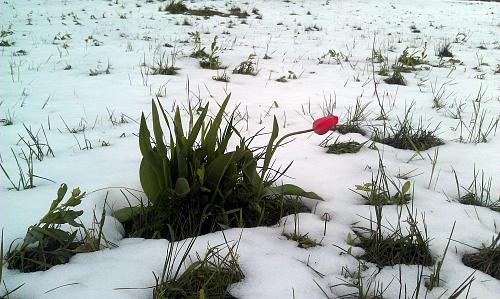 Нажмите на изображение для увеличения Название: Тюльпаны в снегу.jpg Просмотров: 87 Размер:100.4 Кб ID:1484