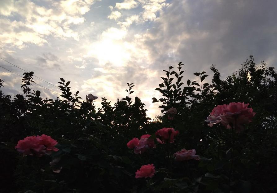Название: Розы и закат.jpg Просмотров: 110  Размер: 137.8 Кб