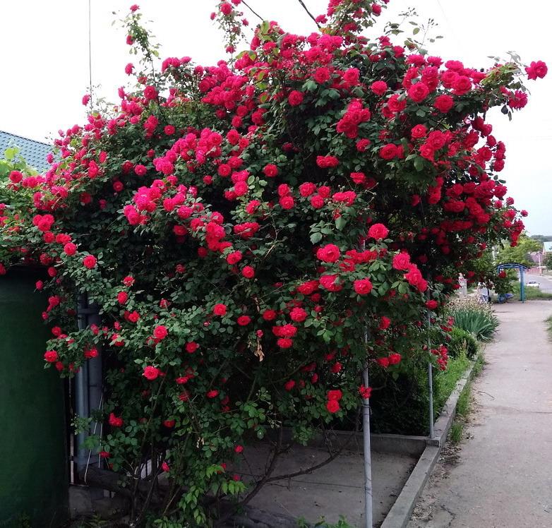 Название: Розы у дома.jpg Просмотров: 2  Размер: 260.0 Кб