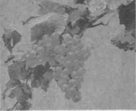 Название: Виноград Шасла.jpg Просмотров: 127  Размер: 7.1 Кб