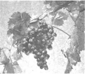 Название: Виноград Мускат.jpg Просмотров: 76  Размер: 10.5 Кб