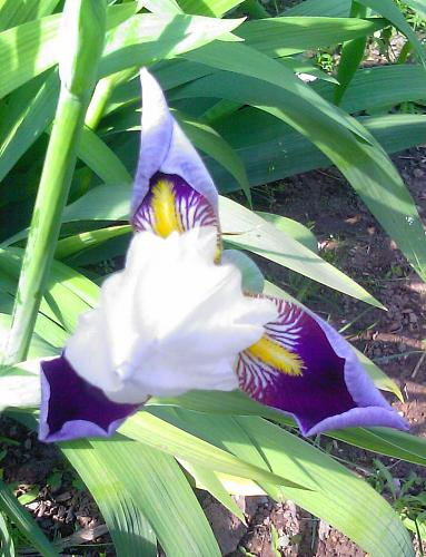 Нажмите на изображение для увеличения Название: Iris-1.jpg Просмотров: 308 Размер:92.6 Кб ID:1442