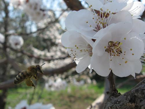 Нажмите на изображение для увеличения Название: Пчела.jpeg Просмотров: 306 Размер:47.2 Кб ID:1509