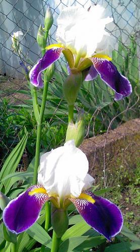 Нажмите на изображение для увеличения Название: Iris.jpg Просмотров: 305 Размер:81.1 Кб ID:1440