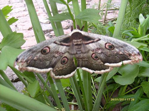 Нажмите на изображение для увеличения Название: Бабочка - моль.jpeg Просмотров: 305 Размер:85.9 Кб ID:1507